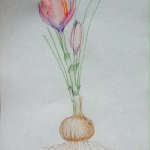 botanical painting of crocus plant with flower and bulb