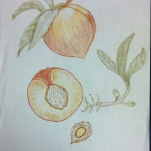 botanical painting with peach fruit